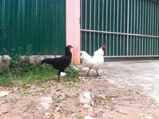 Hi chickens